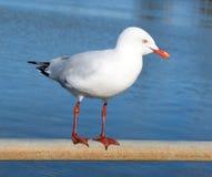 Dainty white seagull perching on an iron rail at the estuary. The dainty white seagull perching on an iron rail at the estuary is enjoying the afternoon autumn stock photo