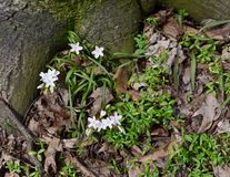 Dainty white spring beauty flowers and thin green leaves growing under a tree. Dainty white spring beauty flowers Claytonia virginica growing in a forest. These royalty free stock image