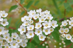 Dainty, White Wildflowers Royalty Free Stock Image