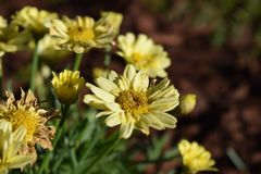 Dainty yellow daisy flower blooms. Bursting royalty free stock photography