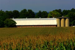 Dairy Barn with cornfield Royalty Free Stock Photos