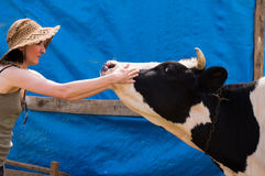 Dairy black and white spotted cow in the village. Royalty Free Stock Photo