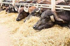Dairy buffalo in farm Royalty Free Stock Photography