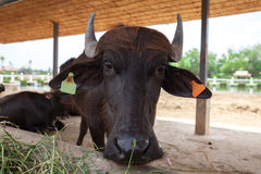 Dairy buffalo in farm Royalty Free Stock Image