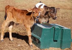 Dairy Bull Calves enjoying a Molasses Roll Stock Image