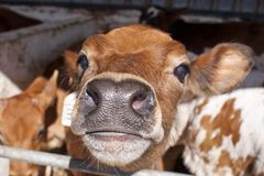 Dairy calf in a small pen stock image