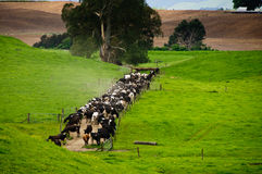 Dairy Cattle Royalty Free Stock Photography