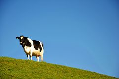 Dairy Cattle with Blue Sky Background Stock Images