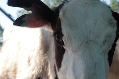 Cows. Dairy cattle breeding Royalty Free Stock Images