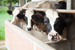 Dairy cattle Stock Image