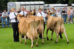 Dairy Cattle Cartmel Show 2011 Stock Photo