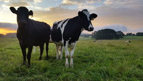 Dairy cattle cow farming sunset / sunrise. These clips are of Holstein Friesians often shortened as Friesians, dairy cattle cows used to produce milk on a lush stock footage