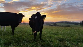 Dairy cattle cow farming sunset / sunrise. These clips are of Holstein Friesians often shortened as Friesians, dairy cattle cows used to produce milk on a lush stock video footage