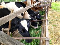 Dairy cattle an eat grand in the farm. royalty free stock images