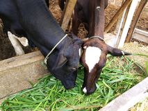 Dairy cattle an eat grand in the farm. stock photography