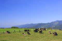 Dairy cattle eating grass in Taitung, Taiwan Stock Image