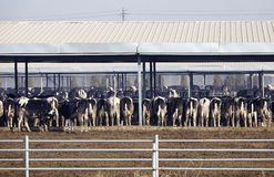 Dairy cattle farms Stock Photo