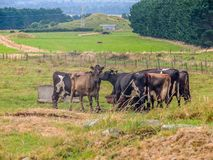 Dairy cattle feeding on a farm in New Zealand. Dairy cattle gather in a field before heading to milking stock photo