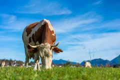 Dairy Cattle In Green Field royalty free stock images