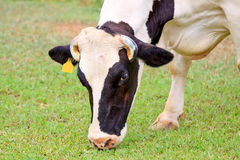 Dairy cattle on green grass in the farm Royalty Free Stock Photography