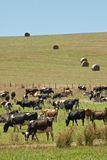 Dairy cattle with hay bales Stock Photo
