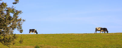 Dairy cattle on horizon Royalty Free Stock Photo