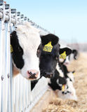 Dairy Cattle Looking Stock Photo