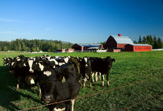 Dairy Cattle and Red Barn. Holstein dairy cattle in a green field with a red barn Royalty Free Stock Photography