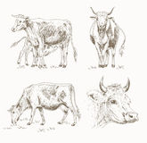 Dairy cattle sketch Stock Image