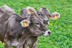 Portrait of Cows in the Pasture. Dairy Cattle in the Traditional Pasture. Bolsternang, Germany Royalty Free Stock Images