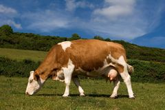 Dairy cow Royalty Free Stock Image