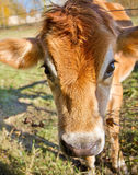 Dairy Cow. Young dairy cow poking it's head through a wire fence in a farm pasture stock photos