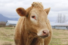 Dairy Cow. Medium Close-up of a dairy cow in a pasture Royalty Free Stock Photography