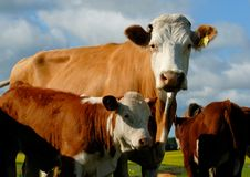 Dairy Cow Stock Photography