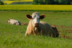 Dairy Cow Stock Images