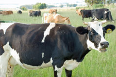 Dairy Cow. Image of a dairy cow grazing in a field Royalty Free Stock Photo