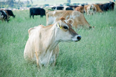Dairy Cow. Image of dairy cows grazing in a field Royalty Free Stock Photo