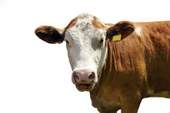 Dairy Cow. Frisian dairy cow isolated over white Royalty Free Stock Photo
