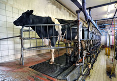 Dairy cow in an automated milking parlour Stock Photo