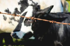 Dairy Cow from behined Barbed wire royalty free stock photo