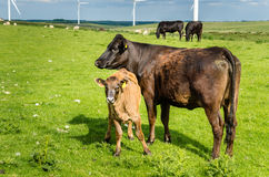 Dairy Cow with a Calf. In a Grassy Field with Wind Turbines in Background Royalty Free Stock Photography