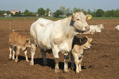 Dairy cow and calves Royalty Free Stock Photography