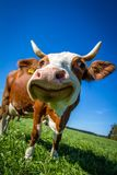 Dairy Cow, Cattle Like Mammal, Grass, Sky Stock Photo