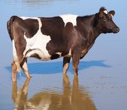 Dairy Cow at The Dam Royalty Free Stock Images