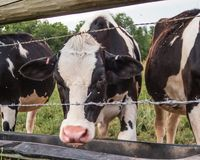 Dairy Cow drinking behind a fence with barb wire in Warwick, NY royalty free stock images