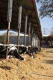 Dairy cow eats straw. In cowshed Stock Image