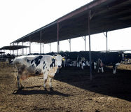 Dairy cow on farm. A photo of a cow with black spots on a dairy darm Royalty Free Stock Photo