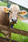 Dairy Cow Royalty Free Stock Photography
