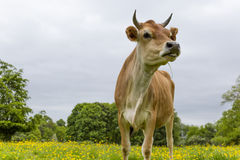 Dairy cow in field Stock Photos