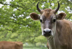 Dairy cow in field Stock Photo